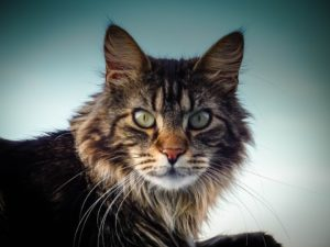 Cat lovers: Keen to adopt a Maine Coon cat? | Dotsure co za
